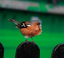A Charming Chaffinch by Paul Bettison