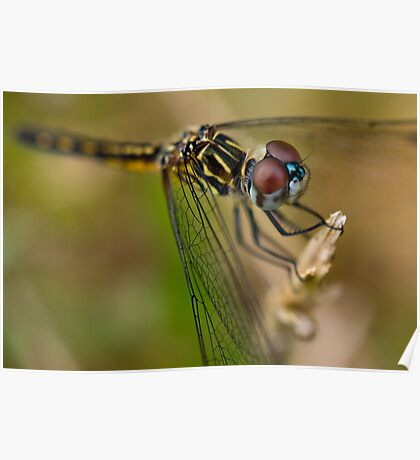 Blue Dasher Poster