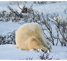 Yoga bear Plow pose Photographic Print
