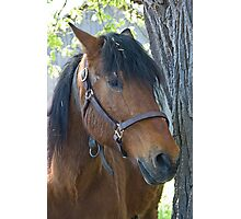 The Canadian Horse Photographic Print