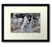 Gentoo Penguin feeding chick in Antarctica Framed Print