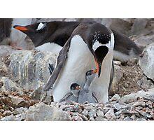Gentoo Penguin feeding chick in Antarctica Photographic Print