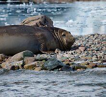 Elephant seal in Antarctica by mcreighton