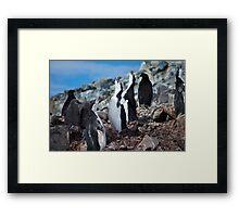 Chinstrap penguin chorus Antarctica Framed Print