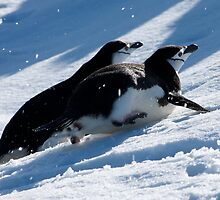 Chinstrap penguins toboggan across the snow in Antarctica by mcreighton