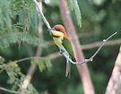 Chestnut-headed Bee-eater by David Clarke