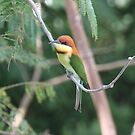 Chestnut-headed Bee-eater by David Clarke