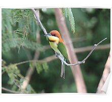 Chestnut-headed Bee-eater Poster