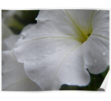 Dew on white flowers Poster