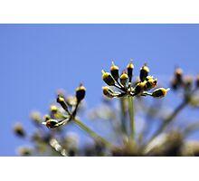 Parsley Seeds Photographic Print