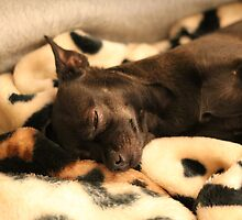 LIttle Lovely Black Chihuahua Dog  by SailorVK