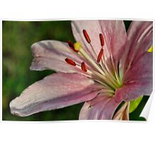 Pink Lilly  Poster