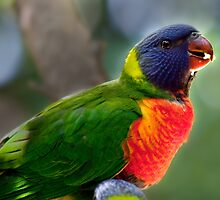 Juvenile Technicolour Lorikeet by Margot Kiesskalt