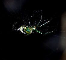 Orchard Spider  by dazaria