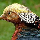 Bob Marley Look Alike! - Golden Pheasant - NZ ** by AndreaEL