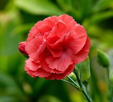 Flower of Love! - Red Carnation - NZ by AndreaEL