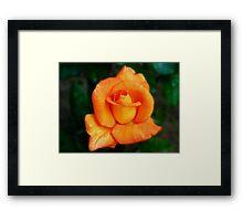 Dreamy Orange Rose Framed Print