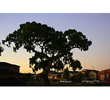 suburbian gum tree Photographic Print
