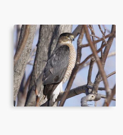 Cooper Hawk Canvas Print