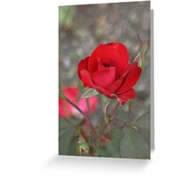Red Rose in Late Afternoon Sun Greeting Card