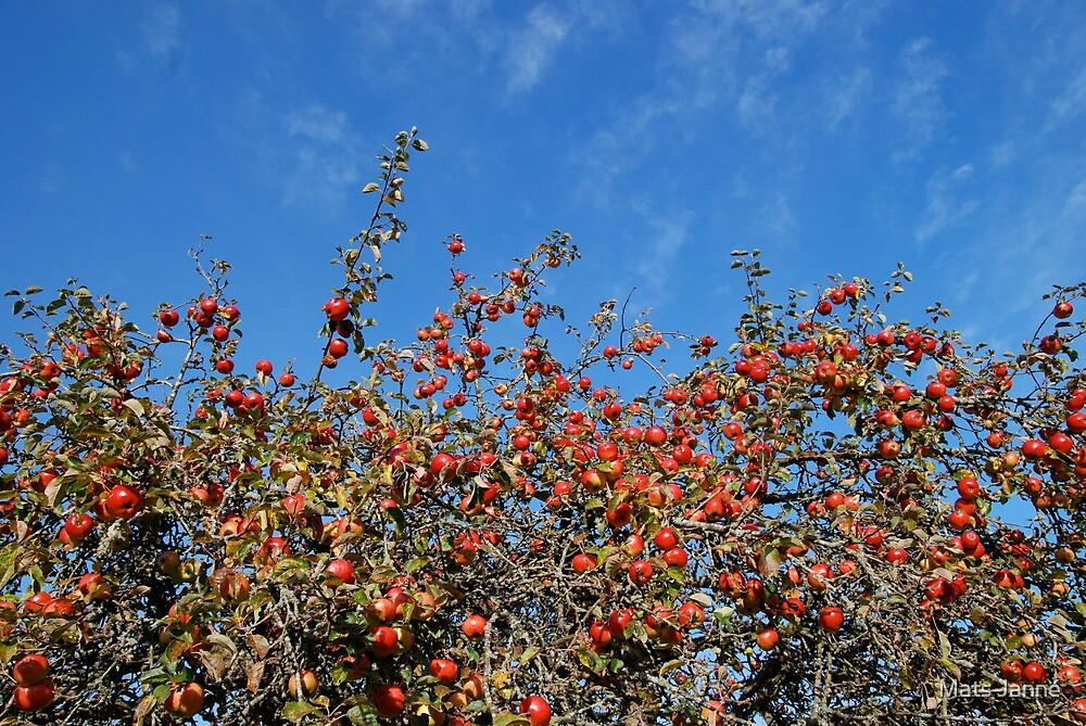 Autumn Apples by Mats Janné