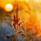 Burning reeds by natans