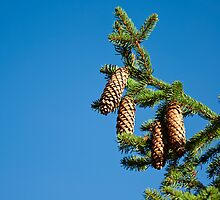 Pinetree branch with cones by emvalibe