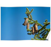 Pinetree branch with cones Poster