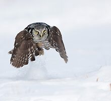 Northern Hawk-Owl. by Daniel Cadieux