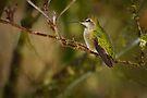 ANNA HUMMINGBIRD by Sandy Stewart