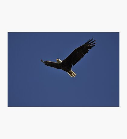 Eagle in Flight 1, As Is Photographic Print