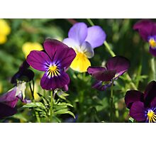 Playful Pansies Photographic Print