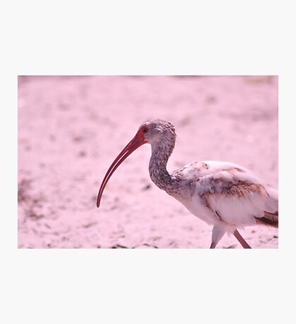 Young Ibis, As Is Photographic Print