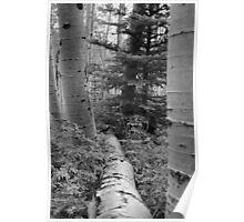 Fallen Aspen Tree- Rocky Mountains Poster