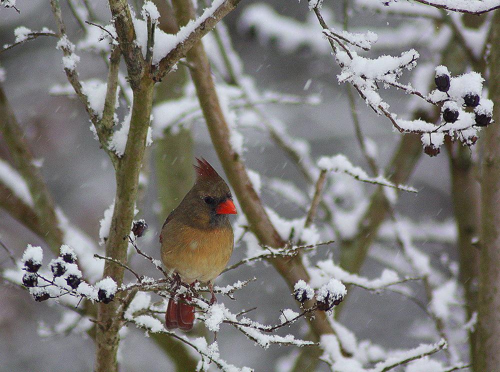 Seeking Shelter (Female Cardinal) by rasnidreamer