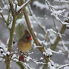 Seeking Shelter (Female Cardinal) by rasnidreamer