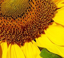 cheery sunflower close up by dedmanshootn