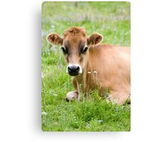 Caramello - NZ jersey cow Canvas Print