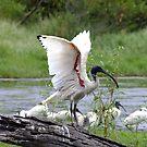 Ibis Wings by Gabrielle  Lees