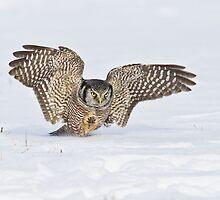 Hawk owl attack by jamesmcdonald