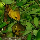 Yellow Warbler pair checking on nestlings by Robert Miesner