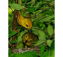 Yellow Warbler pair checking on nestlings Photographic Print