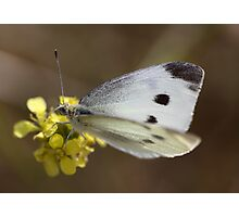 Spotted Butterfly Photographic Print