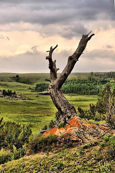 Old Limber Pine by Vickie Emms