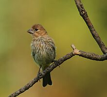 Juvenile Purple Finch by Bill McMullen