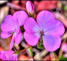 Geranium Flower by sedge808