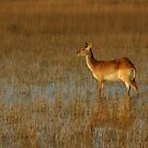 Small group of red lechwe by jozi1