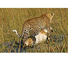 Leopard dragging kill to safe place! Photographic Print