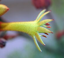 Kangaroo Paw by triciaoshea