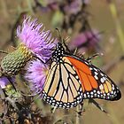 Monarch on Thistle by naturalnomad
